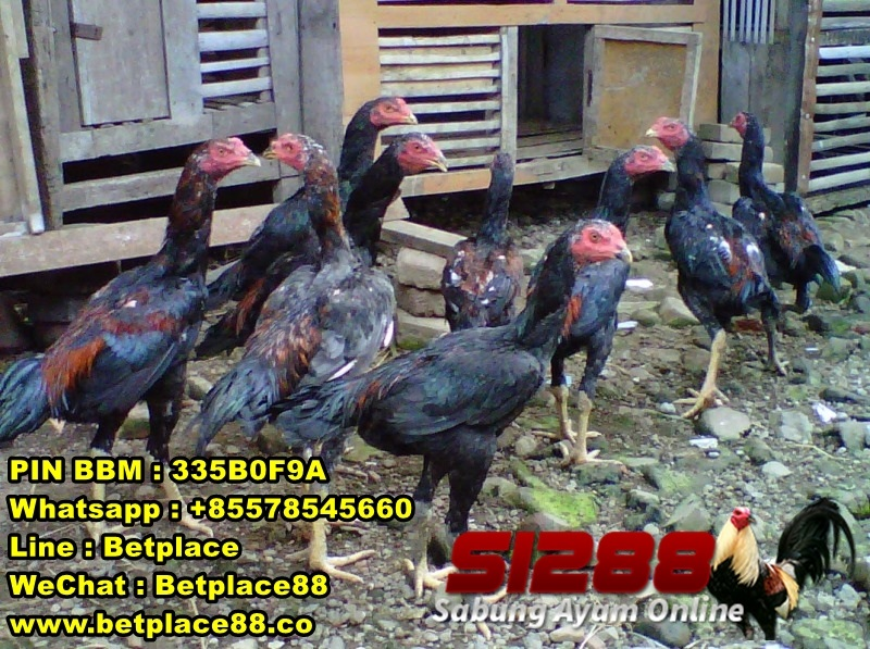 Budidaya Ayam Bangkok Aduan Super